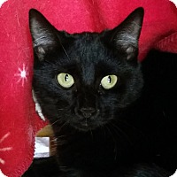 Domestic Shorthair Cat for adoption in Mountain Center, California - Hyacinth