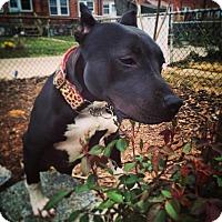 Adopt A Pet :: Reese - Baltimore, MD