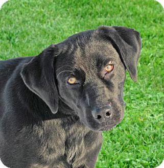 Labrador Retriever Mix Dog for adoption in Woodstock, Illinois - Warrick