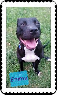 Pit Bull Terrier Mix Dog for adoption in Conesville, Ohio - Emma