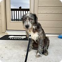 Adopt A Pet :: Gustav - San Antonio, TX