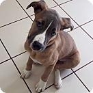 Adopt A Pet :: Blaze