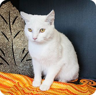 Domestic Shorthair Cat for adoption in Muskegon, Michigan - Spot 2
