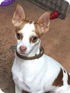 Italian Greyhound/Chihuahua Mix Dog for adoption in Tijeras, New Mexico - Margy