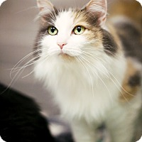 Domestic Shorthair Cat for adoption in Appleton, Wisconsin - Lily