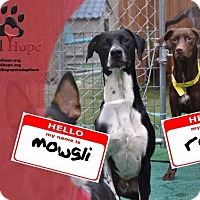 Adopt A Pet :: Mowgli - Fort Worth, TX