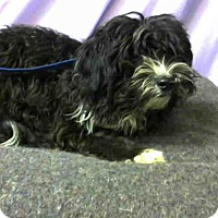 Poodle (Toy or Tea Cup) Mix Dog for adoption in San Bernardino, California - URGENT on 12/1 @DEVORE