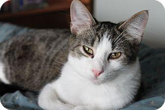 Domestic Mediumhair Cat for adoption in McKinney, Texas - Peter
