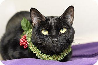 Domestic Shorthair Cat for adoption in Whitehall, Pennsylvania - Stevie