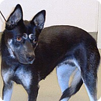 Shepherd (Unknown Type) Mix Dog for adoption in Wildomar, California - Delfina