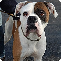 Adopt A Pet :: Bugsy(75 lb) Big, Strong Boy! - SUSSEX, NJ