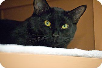 Domestic Shorthair Cat for adoption in Byron Center, Michigan - Gummy Bear