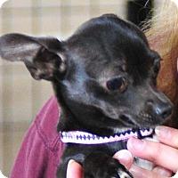 Adopt A Pet :: Amber - Vernonia, OR