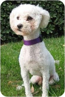 Bichon Frise Mix Dog for adoption in La Costa, California - Snickers