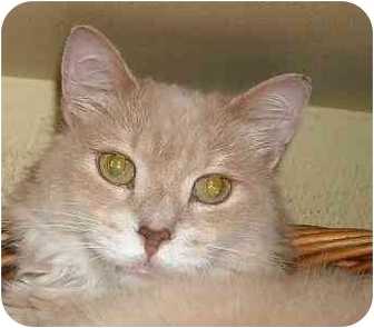 Domestic Mediumhair Cat for adoption in Lombard, Illinois - Troy