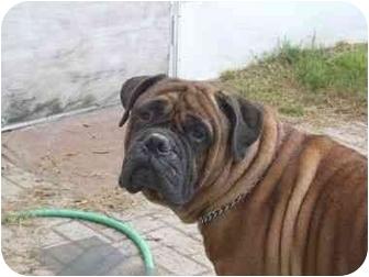 Bullmastiff Dog for adoption in Oviedo, Florida - Remmington