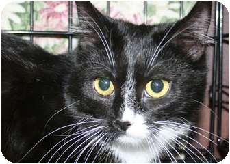 Domestic Shorthair Cat for adoption in Walkersville, Maryland - Annie