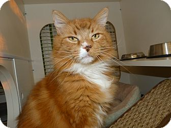 Maine Coon Cat for adoption in Stafford, Virginia - Linx