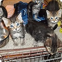 Adopt A Pet :: More Tiger Kittens - Acme, PA