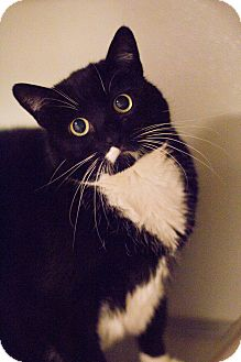 Domestic Shorthair Cat for adoption in Grayslake, Illinois - Details