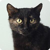 Manx Cat for adoption in Smithfield, North Carolina - Aspen