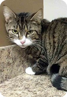 Domestic Shorthair Cat for adoption in Gahanna, Ohio - Pancake