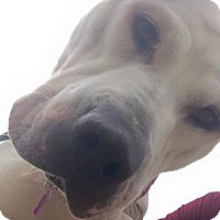 American Bulldog/Labrador Retriever Mix Dog for adoption in Youngstown, Ohio - Tink