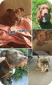Labrador Retriever/Golden Retriever Mix Puppy for adoption in Portage, Indiana - Jasmine