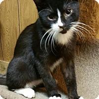 Domestic Mediumhair Kitten for adoption in Morganton, North Carolina - Gandalf