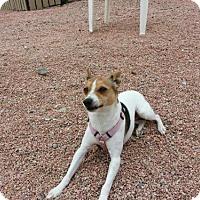 Adopt A Pet :: ROXIE - Chandler, AZ
