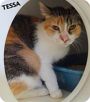Calico Cat for adoption in Lapeer, Michigan - Tessa