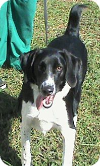 Pointer Mix Dog for adoption in Maynardville, Tennessee - Freya