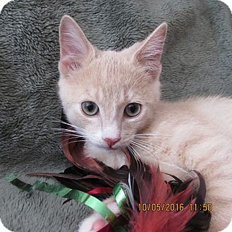 Domestic Shorthair Kitten for adoption in Cambridge, Ontario - Finn