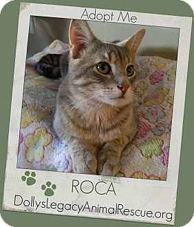 Domestic Shorthair Cat for adoption in Lincoln, Nebraska - ROCA