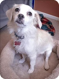 Spaniel (Unknown Type)/Terrier (Unknown Type, Small) Mix Dog for adoption in Encino, California - Mona Lisa