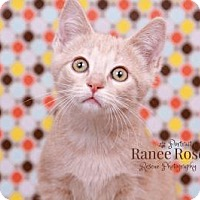 Adopt A Pet :: Chamomile - Sterling Heights, MI