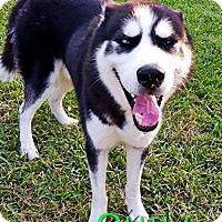 Adopt A Pet :: Quill - Carrollton, TX