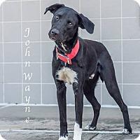 Adopt A Pet :: John Wayne - Lancaster, TX