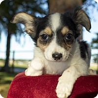 Adopt A Pet :: BETH--Mila's baby - Alvin, TX