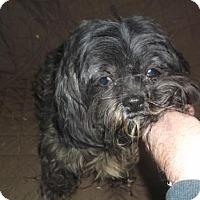 Shih Tzu Dog for adoption in Bonifay, Florida - Marty