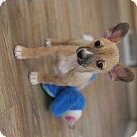 Adopt A Pet :: Peyton- adoption pending - Greeley, CO