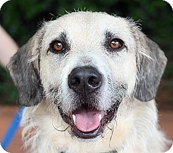 Irish Wolfhound/Terrier (Unknown Type, Medium) Mix Dog for adoption in Atlanta, Georgia - Comet