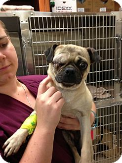 Pug Dog for adoption in Austin, Texas - Bebe