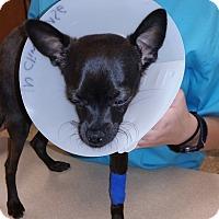 Adopt A Pet :: Barney - Phoenix, AZ