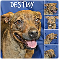 Feist Mix Dog for adoption in Siler City, North Carolina - Destiny
