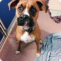 Boxer Mix Dog for adoption in Denver, Colorado - Buster Brown