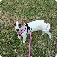 Adopt A Pet :: Little Bit in Houston PENDING - Austin, TX