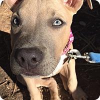 Adopt A Pet :: Honey - San Diego, CA