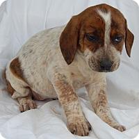 Adopt A Pet :: Daisy (6 lb) - Sussex, NJ