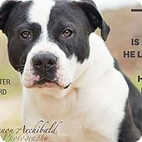 Bulldog Mix Dog for adoption in Macon, Georgia - Bandit